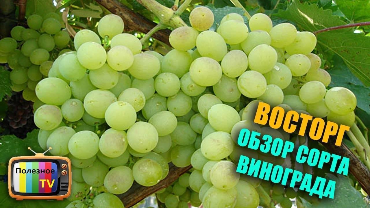 """Виноград """"восторг"""": описание сорта, фото, подробная характеристика и вредители"""