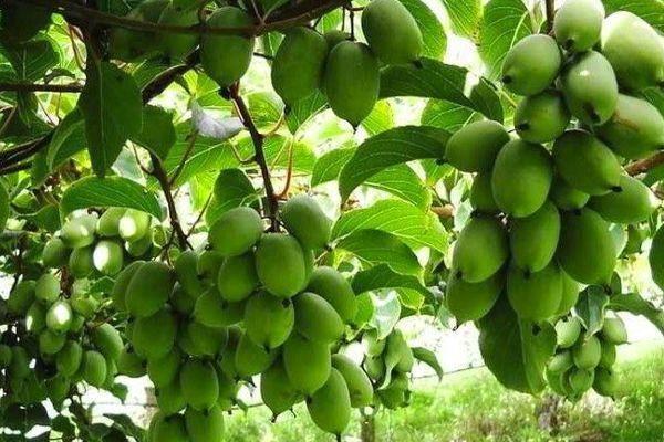 Актинидия: характеристики сортов, посадка, уход и выращивание