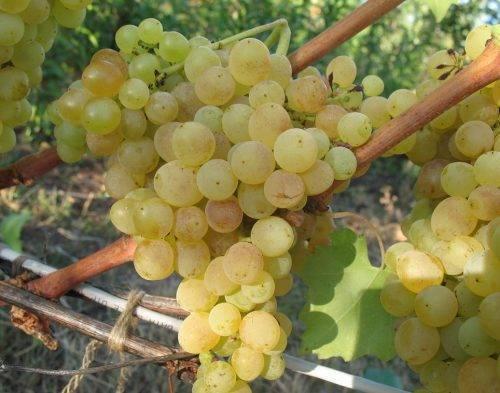 Виноград дружба — ягоды грибы