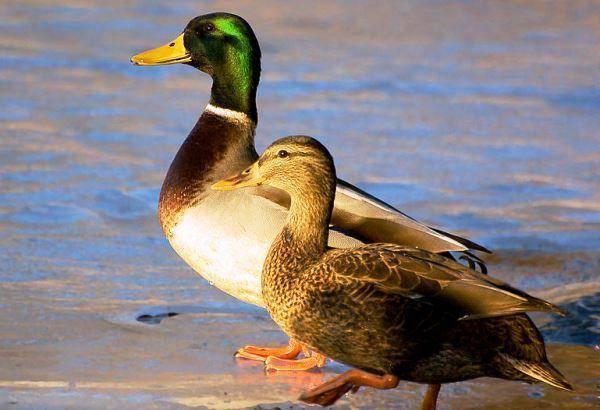 Как распознать селезня от утки. утка или селезень: как определить пол молодняка и взрослых особей