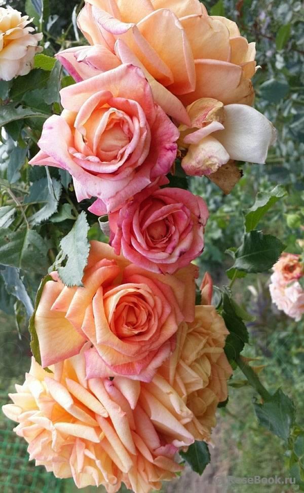 Описание и уход за розой барок