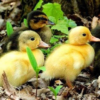 Сколько дней высиживают яйца куры и утки? сколько времени высиживают яйца куры в инкубаторе максимум?