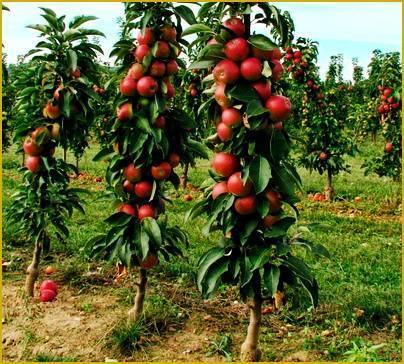 Плодовый сад и питомник - описание и характеристики подвоев яблони, груши, сливы, вишни и черешни