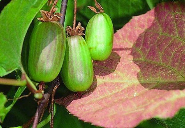 Актинидия коломикта: особенности выращивания северного киви
