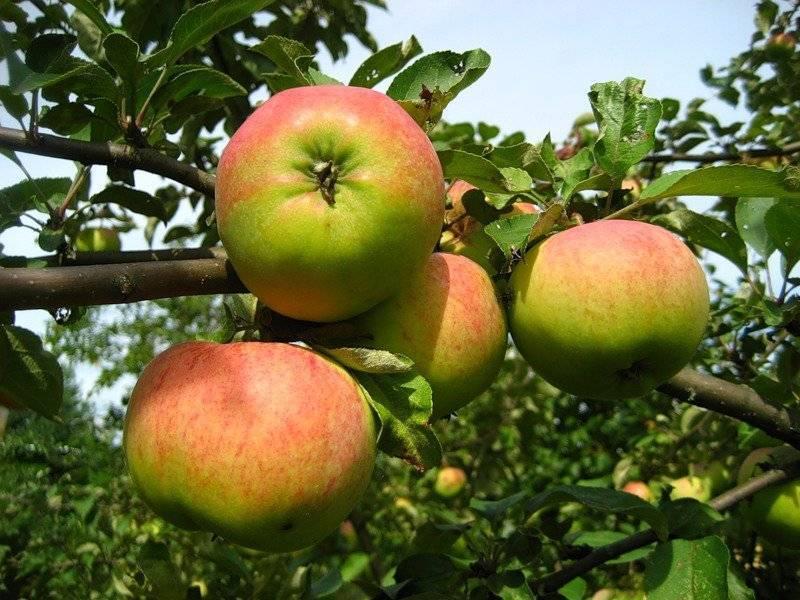 Как посадить и вырастить яблоню сорта медуница у себя на участке