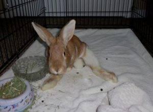 У кролика отказали задние лапы (паралич): что делать и почему?