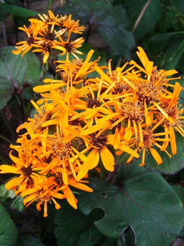 Бузульник, в народе «язычок»: популярные виды и сорта для сада