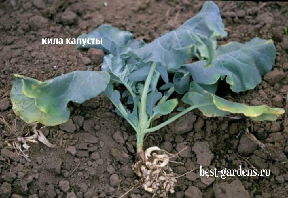 Сорта капусты устойчивые к киле