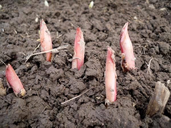 Пересадка пионов весной на другое место