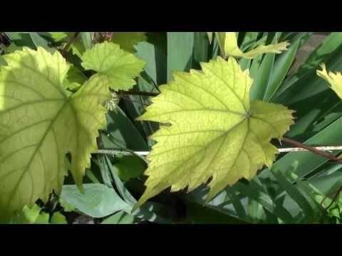 Желтеют листья у герани комнатной по краям или появляются пятна: почему это происходит и что делать, а также уход за цветком в домашних условиях исходя из причин