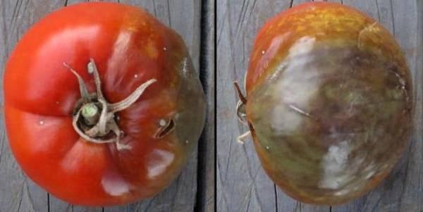 Как бороться с фитофторой на помидорах: симптомы, причины и способы лечения