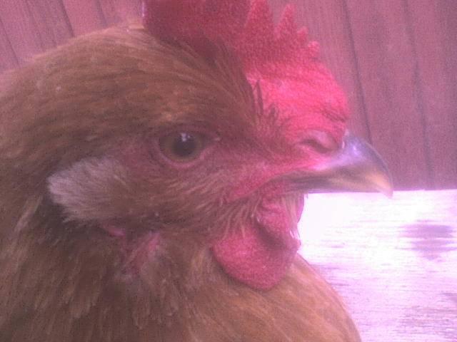 Что делать с курицей (почему не ест, не пьет, сидит нахохлившись, спит на ходу)