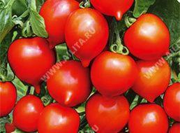 Томат стыдливый румянец: описание и характеристика сорта, выращивание и уход с фото