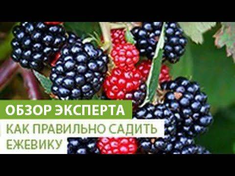 Садовая ежевика: посадка и уход, выращивание в сибири и на урале