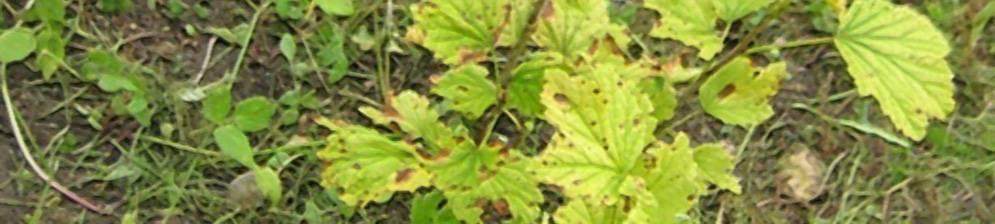 Желтеют листья винограда – 8 основных причин и способы решения проблемы