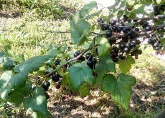 Черная смородина: описание, сорта, посадка и уход