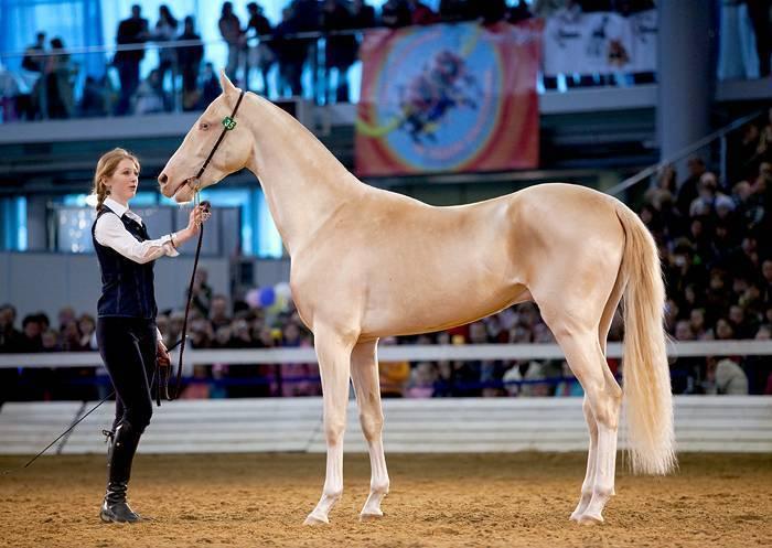 Ахалтекинская лошадь – описание внешнего вида, где обитает, особенности характера