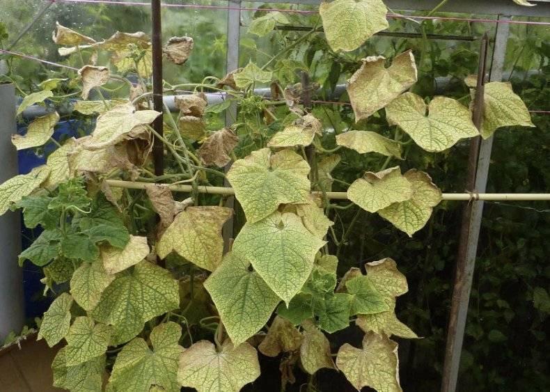 Почему желтеют листья у огурцов или огуречной рассады?
