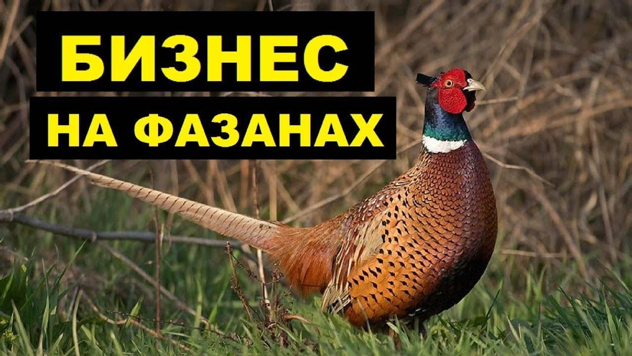 Неприхотливые фазаны: содержание и разведение в домашних условиях - общая информация - 2020