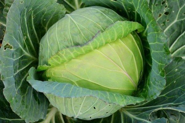Полезная и вкусная колобок капуста: советы по выращиванию и хранению урожая