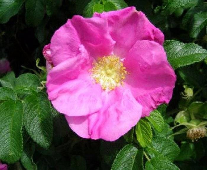 Роза переродилась в шиповник что делать