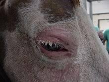 Как вылечить заболевания глаз у лошади
