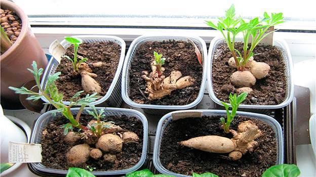 Георгина однолетняя: выращивание из семян