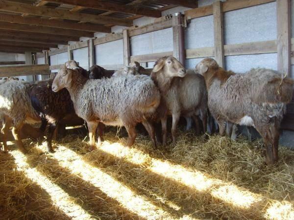 Гиссарская порода овец и ее преимущества