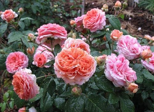 Розы чиппендейл: описание, посадка, уход, выращивание и отзывы