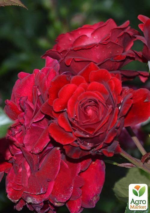 Роза чг вау (wow нт) — яркий акцент в вашем розарии