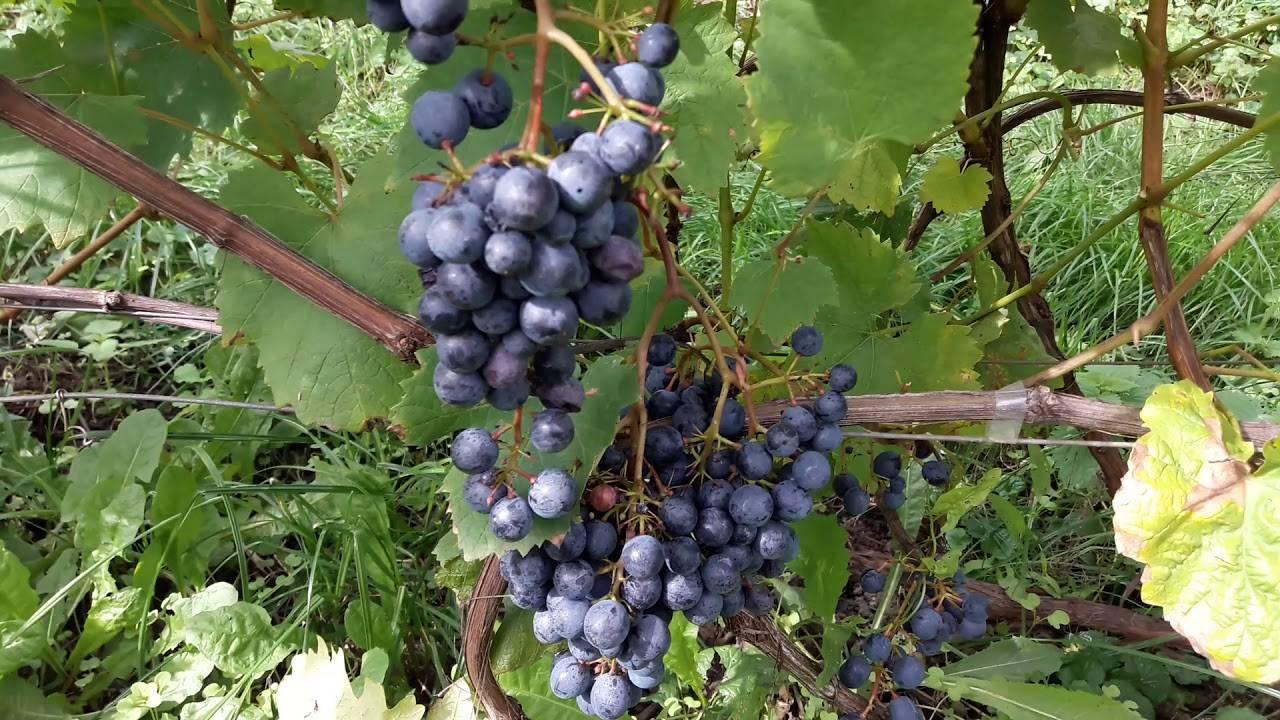 грызунов обладают сорт винограда низина куст с урожаем фото возникло