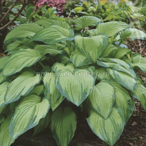 Хоста альбопикта в саду - рекомендации по уходу и использованию в ландшафтном дизайне