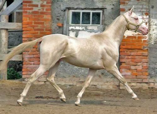 Изабелловая масть – красивая окраска лошади 2020