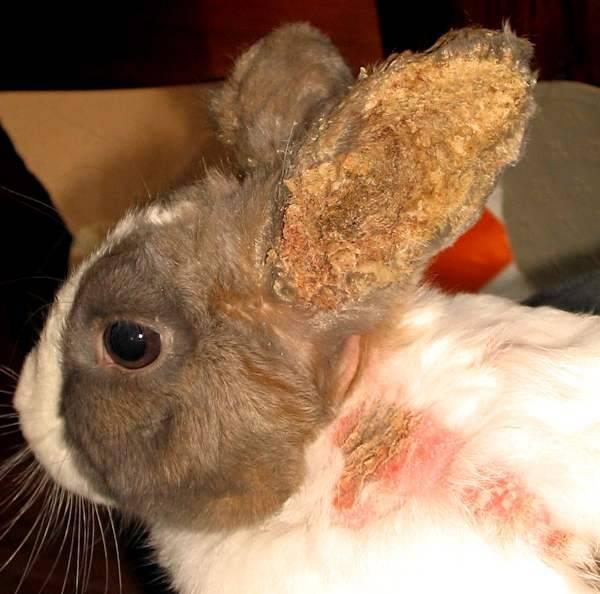 Ушной клещ у кроликов - симптомы и лечение   россельхоз.рф