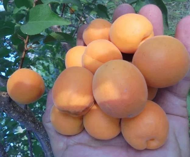 Лель: всё о выращивании популярного сорта абрикоса