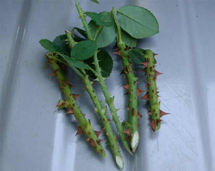 Как вырастить розу из черенков в домашних условиях в картошке: плюсы и минусы метода, а также как правильно посадить и укоренить цветок в картофеле в горшке?