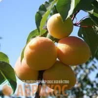 Особенности сорта абрикоса кичигинский