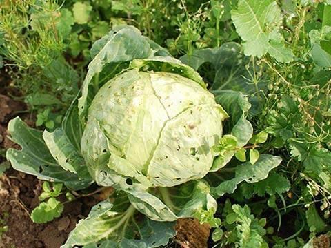 6 этапов борьбы с килой капусты