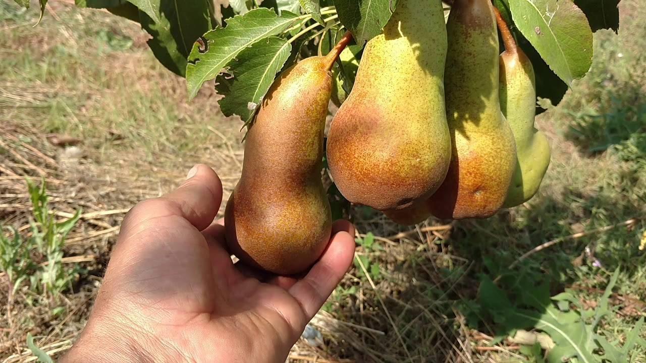 Груша «аббат феттель»: характеристика и секреты успешного выращивания