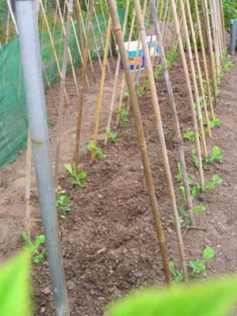 Подвязывание гороха на огородной грядке