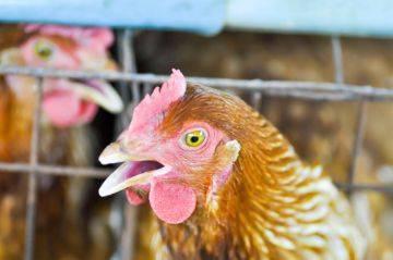Лечение болезни марека у кур