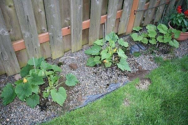 Кабачки: выращивание рассады из семян, посадка в открытый грунт и уход
