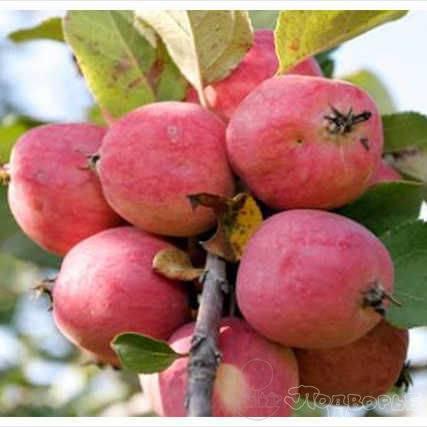 Пепин шафранный— 250 кг яблок с одного дерева