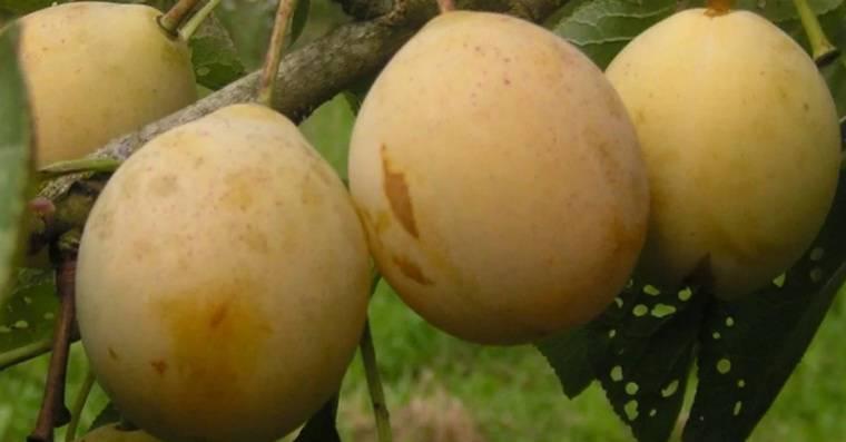 Ранние сорта сливы – самые сладкие и ароматные (названия и фото)