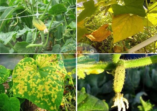 Желтеют листья огурцов в теплице? просто огурцам холодно. почему у тепличных огурцов желтеют листья?