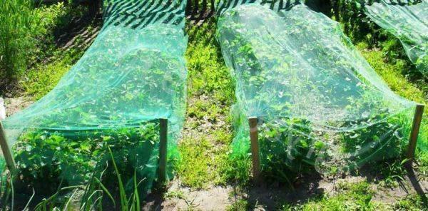 Как защитить клубнику от птиц: самые эффективные способы