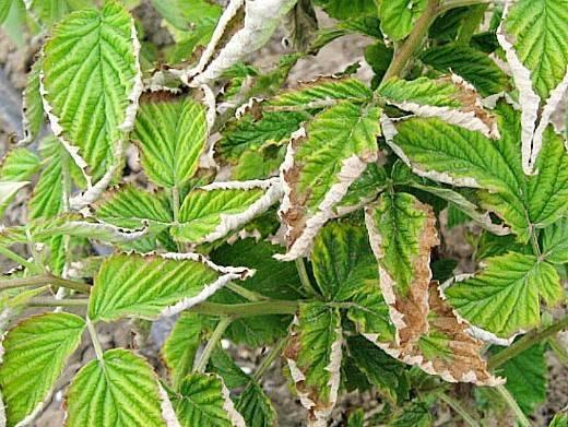 Топ-11 опасных заболеваний малины и способы их лечения