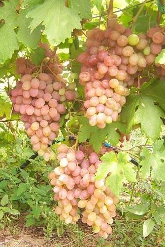 Виноград румба: описание сорта, выращивание