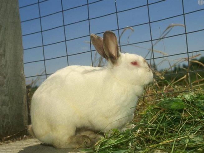 Водянка у кроликов причины и лечение