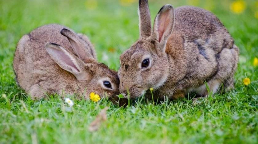 Сколько длится беременность у кроликов и как принять роды? - общая информация - 2020